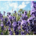 Body Smart – Lavender Massage Oil    125 ml