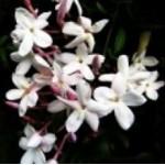 Body Smart – Jasminum Grandiflorum 3% in Jojoba Oil         10ml