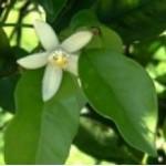 Body Smart – Citrus Aurantium 3% in Jojoba Oil         10ml