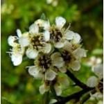 Body Smart – Tea Tree Australian        10ml